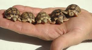 Pulire il guscio di tartaruga