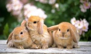 pulizia di un coniglio nano