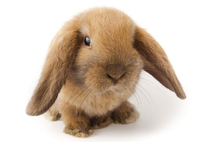 Come pulire un coniglio nano