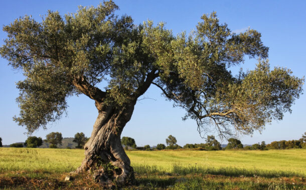 Come potare un olivo